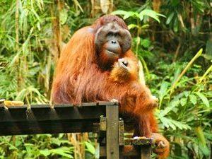 orangoetan kuching borneo