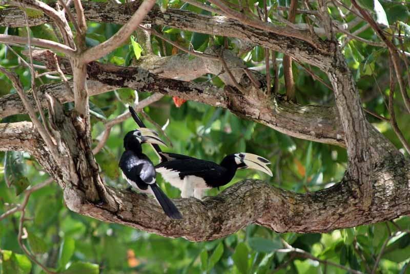 Neushoornvogels maleisie vakantie