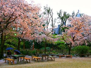 Picknicken in Tokyo onder de bloessem bomen