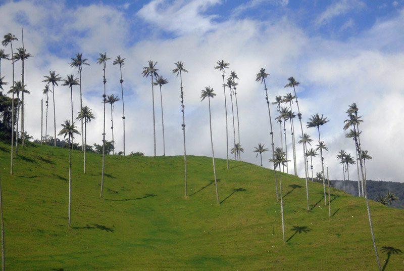 Palmen im Valle del Cocora