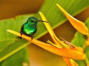 Kolibri an Kolumbiens Karibikküste