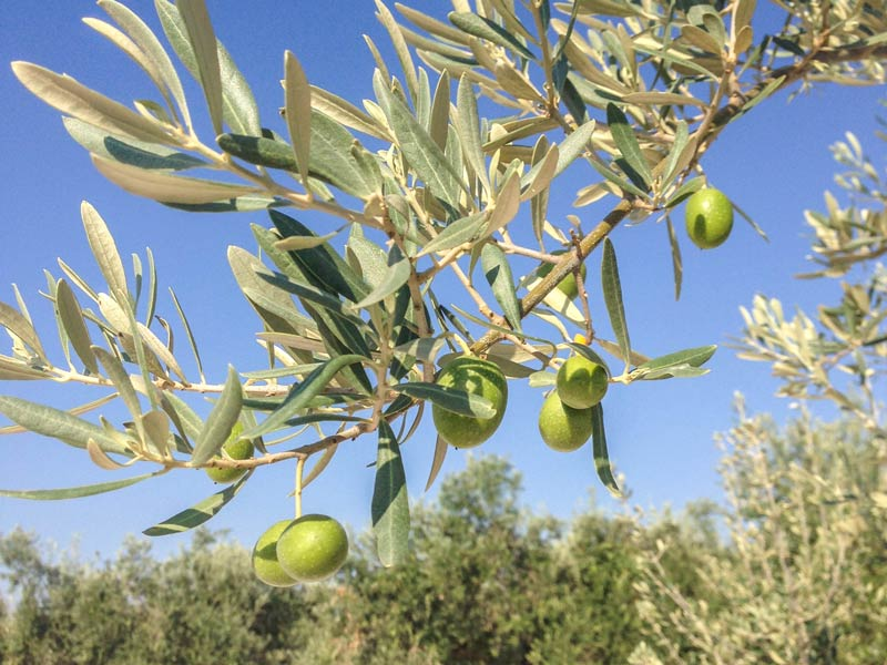Zuheros Mietwagenrundreise Andalusien Olivenbaum Kulinarik