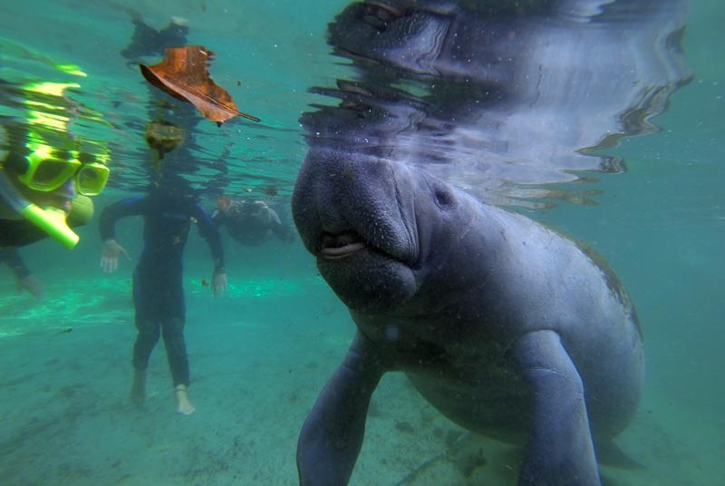 Snorkelen met Zeekoeien Florida