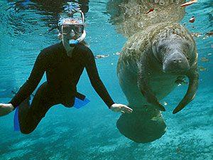 Zwemmen met zeekoeien