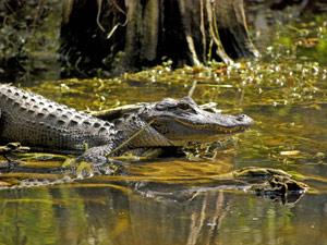 Krokodillen spotten in de Everglades
