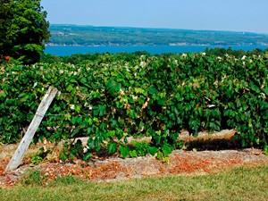 Ithaca wijngebied