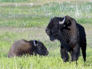 Teton-bizon