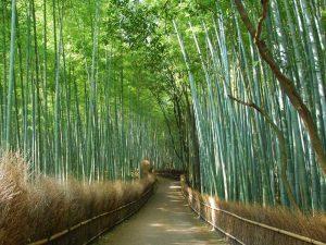 Bambuswald in der Nähe von Kyoto in Japan