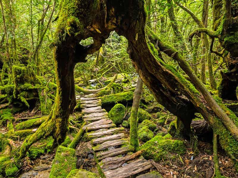 Kyushu Rundreise Yakushima Zeder Weg