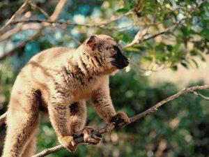 Lemur im Andasibe Nationalpark bei Madagaskar Urlaub