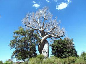 Baobab - 3 Wochen Madagaskar