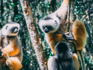 Lemuren im Andasibe Nationalpark in Madagaskar
