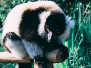 Indri Lemur - Madagaskar Highlights