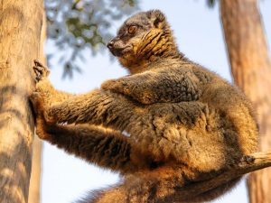 Lemuren im Andasibe Nationalpark bei Madagaskar Urlaub