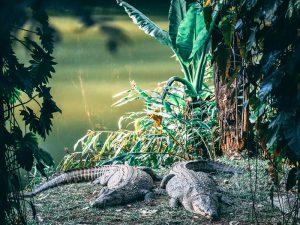 Im Andasibe Nationalpark finden Sie auch Krokodile´- 3 Wochen Madagaskar