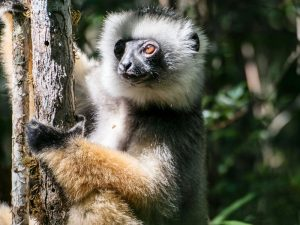 Lemur im Andasibe Nationalpark in Madagaskar