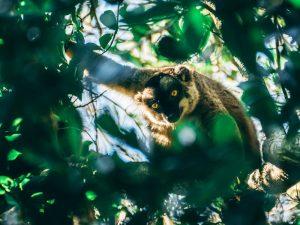 Im Isalo werden Sie viele Lemuren sehen - 3 Wochen Madagaskar
