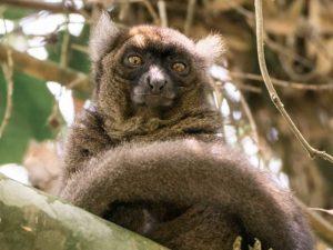 Lemuren im Ranomafana Nationalpark - Antananarivo Nosy Be