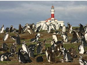 Zeebonk op pinguïneiland