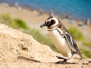 Argentinie reizen: wildlife Peninsula Valdes