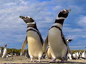 argentinie pinguins