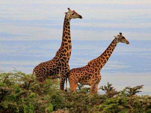 Reisroute Tanzania Kenia met kinderen - giraffes