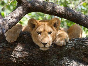 Tanzania safari - leeuwen spotten met je verrekijker