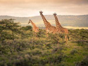 Kenia vakantie twee weken - gamedrive Masai Mara
