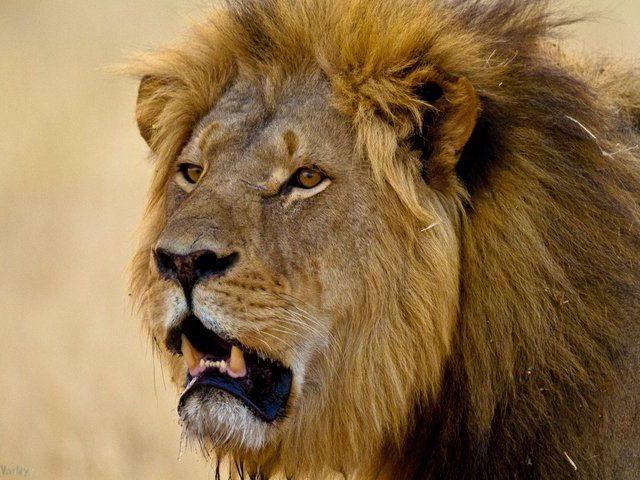 Tanzania reizen leeuw
