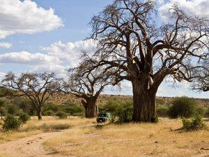 National park Tarangire baobab