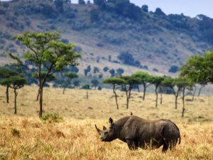 National Park Tanzania - neushoorn