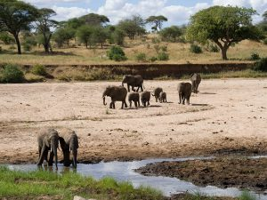 Tanzania hoogtepunten - wild spotten in Tarangire National Park