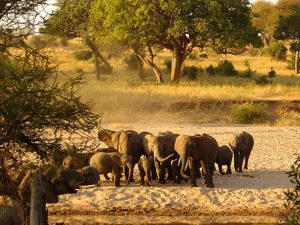 National Park Tanzania - olifanten Tarangire national park