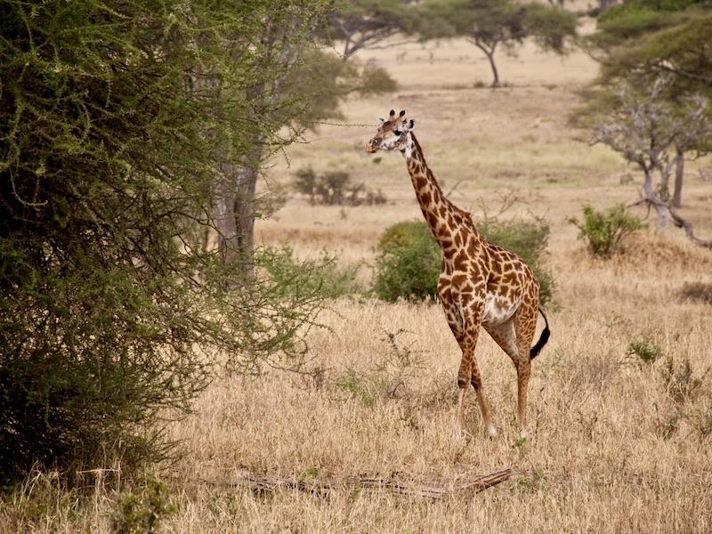 Hoogtepunten Tanzania reis met kinderen - giraffe