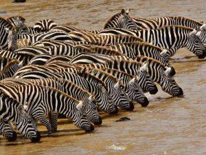 Tanzania met kinderen - safari - zebra's