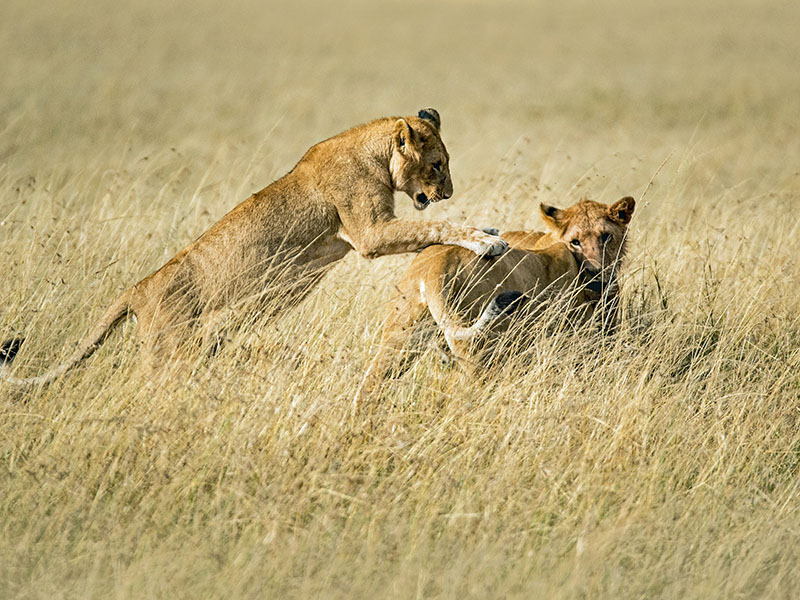 leeuwen Serengeti national park