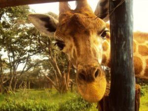 Safari Kenia - giraffenopvang Nairobi