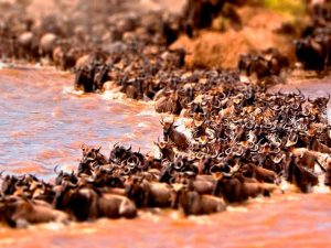 Kenia vakantie twee weken - Masai Mara - Great Migration