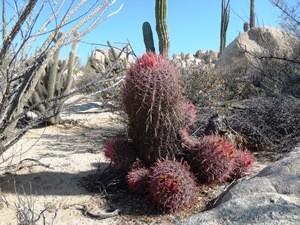roter Kaktus in Cataviña-Wüste bei Baja California Rundreise