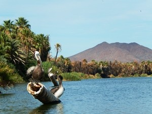 Mexiko Baja San Ignacio See Pelikane