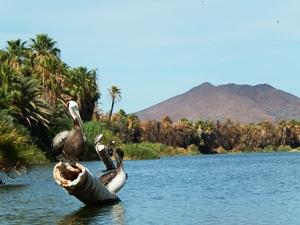 Mexiko-baja-San-Ignacio-See-Pelikane