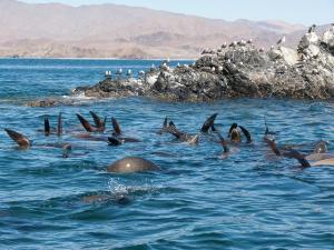 Seelöwen Bahia de los Angeles