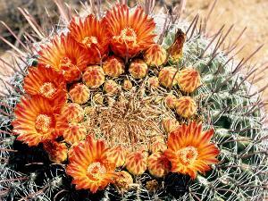 Barrel Kaktus in der Catavina Wüste