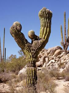 Cardon Kaktus in der Baja California
