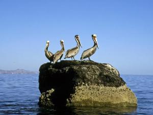 Pelikane Isla Coronado