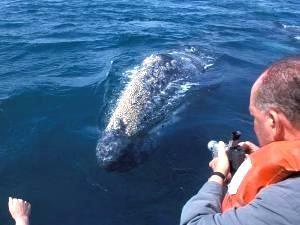Reisender macht Foto vom Grauwal