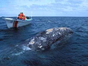 Beim Whale Watching- Auf Tuchfühlung mit den grauen Riesen