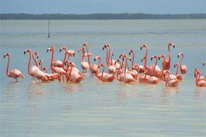 Flamingos am Rio Celestun.