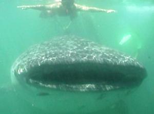 Holbox: schwimmen mit Walhai