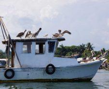 Pelikane auf dem Rio Dulce